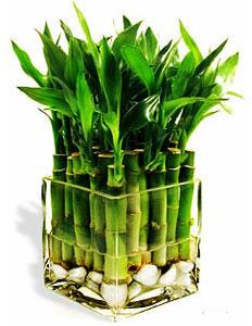 Комнатный бамбук. Выбираем по правилам фэн-шуй