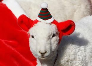 Новый 2015 Год Овцы