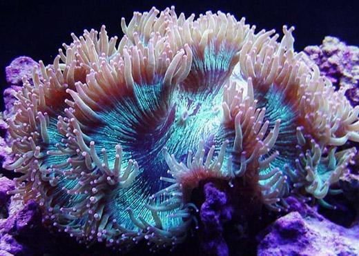 свойства коралла