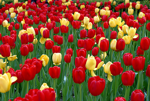 энергия тюльпанов